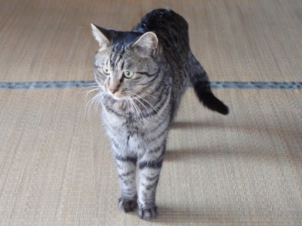 愛猫ミイ君、今日も我が家を巡回中・・・