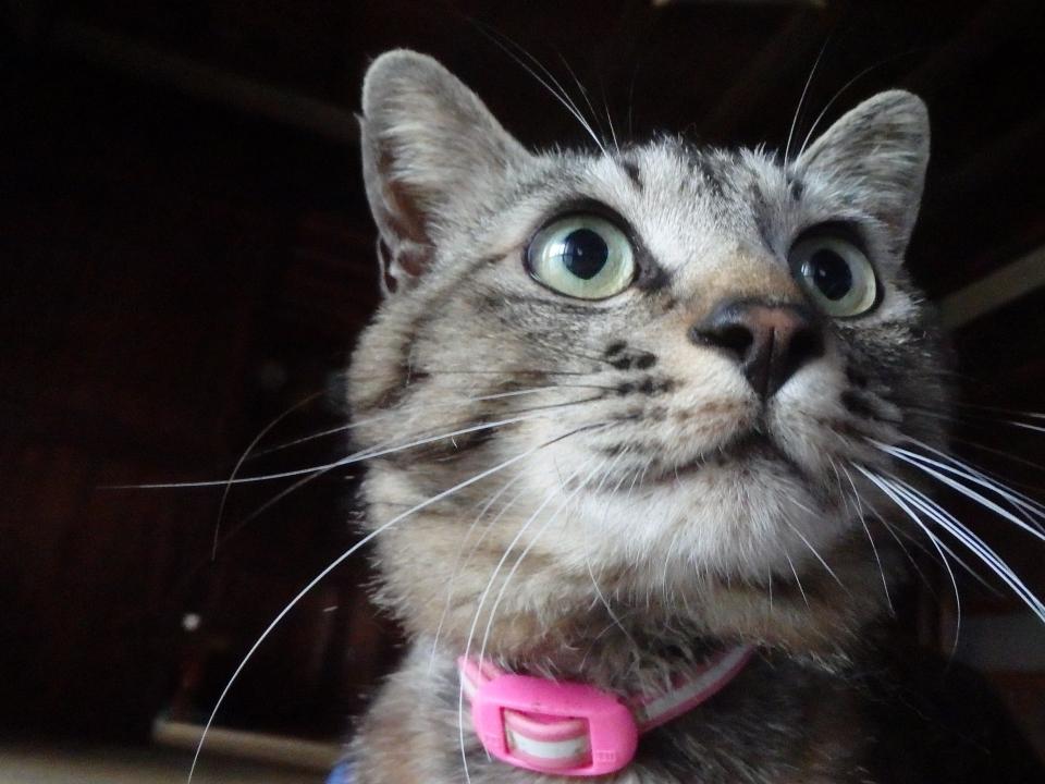 雨音が気になる様子の愛猫ミイ君