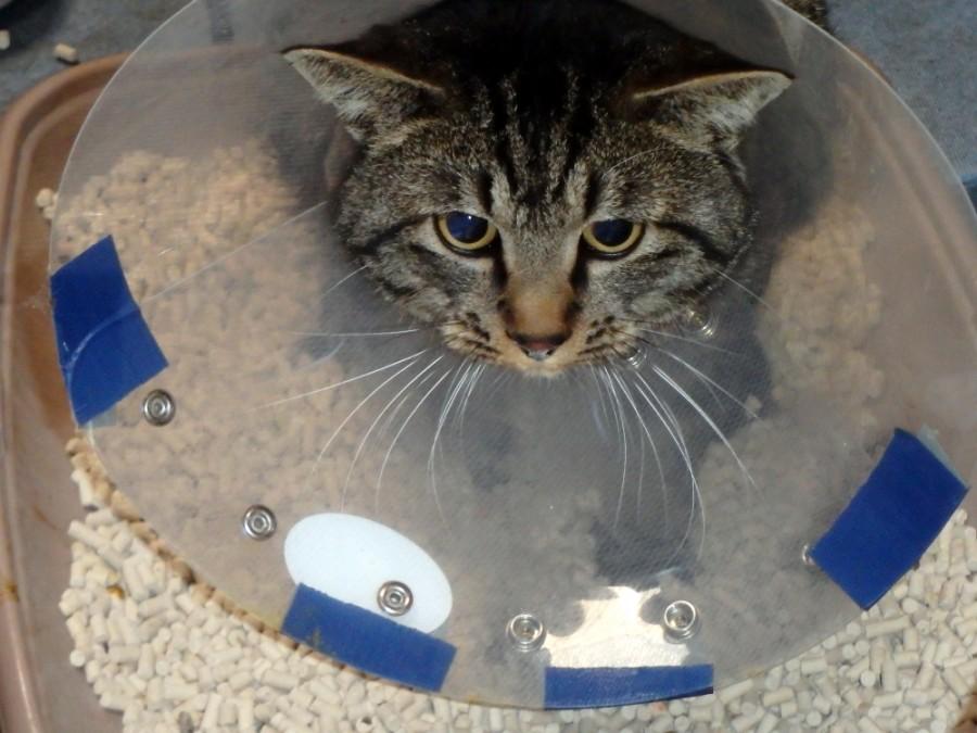 愛猫ミイの下部尿路疾患治療中